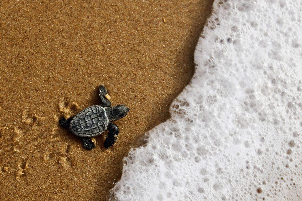 Baby Sea Turtle Moving Forward Annia Cuebas Colon