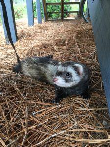 Katie Hewitt's pet ferret